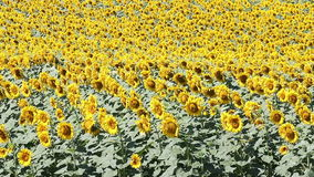 Sunflowers field summer season stock video footage