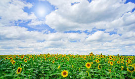 Sunflowers field by summertime. Stock Images