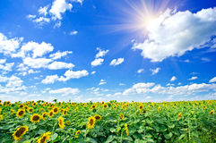 Sunflowers field by summertime. Stock Photos