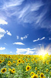 Sunflowers field by summertime. Royalty Free Stock Photos