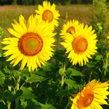 Sunflowers on the field. Summertime Royalty Free Stock Photos