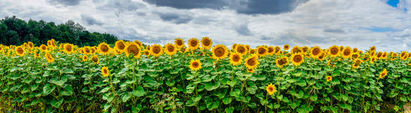 Sunflowers field by summertime. Royalty Free Stock Photo