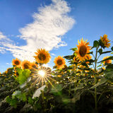 Sunflowers field with sun rays Royalty Free Stock Photography
