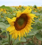Sunflowers on a field Royalty Free Stock Photography