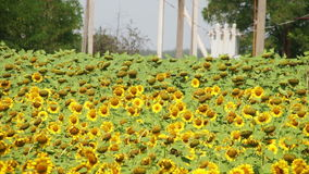 Sunflowers in the Field stock video