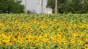 Sunflowers in the Field stock video footage