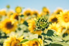 Sunflowers field in sunny day Stock Photo