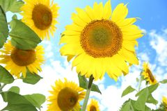 Sunflowers in the field on the sunny day. royalty free stock photos