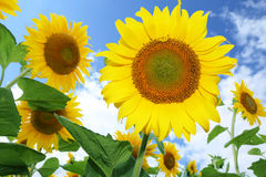 Sunflowers in the field on the sunny day. stock photography