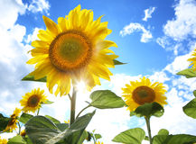 Sunflowers in the field on the sunny day. royalty free stock image