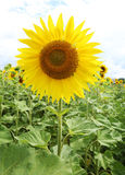 Sunflowers in the field on the sunny day. stock image