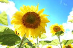 Sunflowers in the field on the sunny day. royalty free stock photo