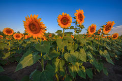 Sunflowers. In the field at sunrise Stock Photo