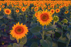Sunflowers. In the field at sunrise Royalty Free Stock Photos