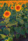 Sunflowers. In the field at sunrise Royalty Free Stock Image