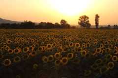 Sunflowers field on Sunset Stock Photo