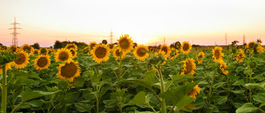 Sunflowers in the field during sunset Stock Photo