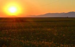 Sunflowers field sunset Stock Image