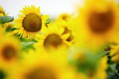 Sunflowers field Stock Photography