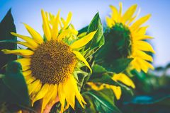 Sunflower field at sunset Royalty Free Stock Images