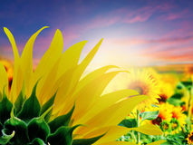 Sunflowers field. At sunset time royalty free stock photography
