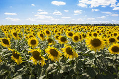 Sunflowers 4. Sunflowers in a field in the sunshine Stock Photography