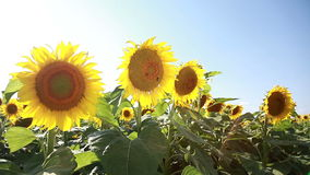 Sunflowers On The Field stock footage