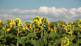 Sunflowers On The Field stock video