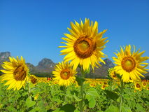 Sunflowers. Field in Thailand Royalty Free Stock Photography