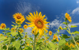 Sunflowers field in Thailand Royalty Free Stock Photos
