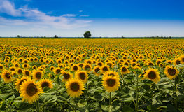 Sunflowers. Field of sunflowers in Tuscany Royalty Free Stock Images