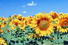 Sunflowers field in Ukraine. Golden of virgin oil. Royalty Free Stock Images