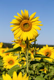 Sunflowers field in Ukraine Royalty Free Stock Photo