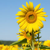 Sunflowers field in Ukraine Royalty Free Stock Images