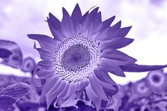 Sunflowers Field. Ultra violet color of 2018 sunflowers in a field concept royalty free stock photography