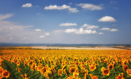 Sunflowers field under blue sky Stock Photos