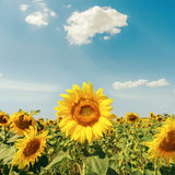 Sunflowers on field under clouds Stock Photography