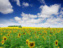 Sunflowers field under cloudy sky Stock Image