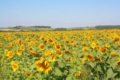 Sunflowers field under the hills Royalty Free Stock Photos