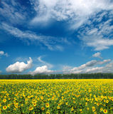 Sunflowers field under sky Royalty Free Stock Photography