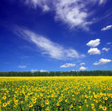 Sunflowers field under sky Stock Photos