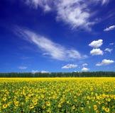 Sunflowers field under sky stock photos