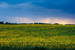 Sunflowers field under stormy dramatic skies. Royalty Free Stock Photography
