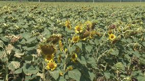 Sunflowers field unripe agriculture stock video footage