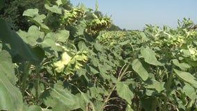 Sunflowers field unripe agriculture stock video