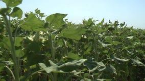 Sunflowers field unripe agriculture stock footage