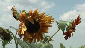 Sunflowers field unripe stock video footage