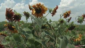 Sunflowers field unripe stock footage