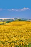 Bulgarian Sunflowers Field Royalty Free Stock Photos