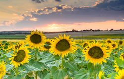 Sunflowers in the field VII Royalty Free Stock Photo